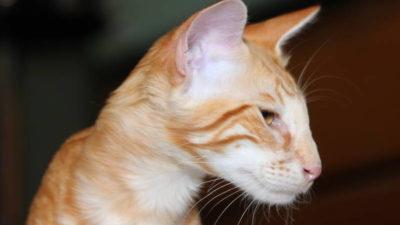 Kot orientalny długowłosy