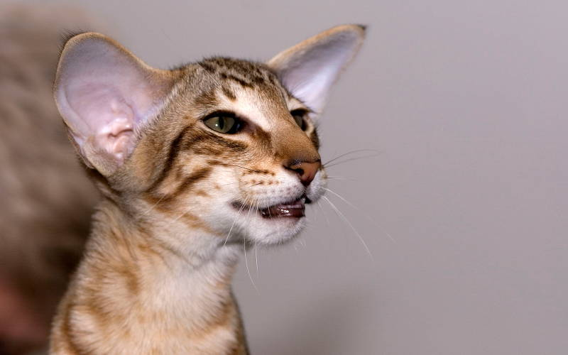 Kot Orientalny Krótkowłosy Wszystko O Kotach