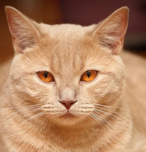 Dziedziczenie umaszczenia kremowego u kotów