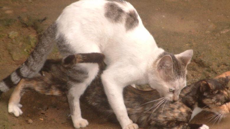 Dlaczego kocur trzyma kotkę za kark podczas kopulacji?