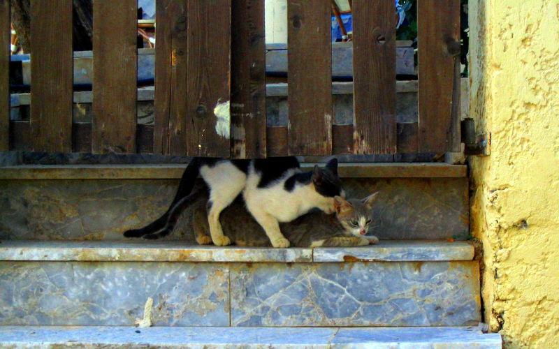 Dlaczego kotka krzyczy podczas krycia?