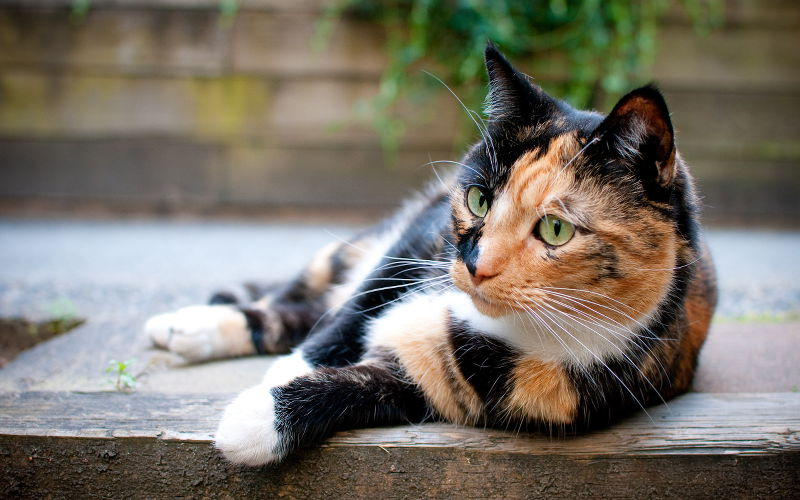 Długość futra u kotów