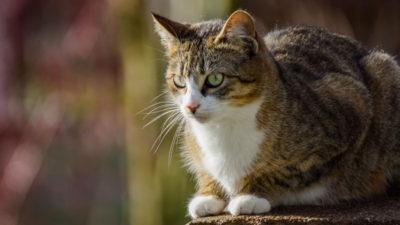 Drzewo genealogiczne kota domowego