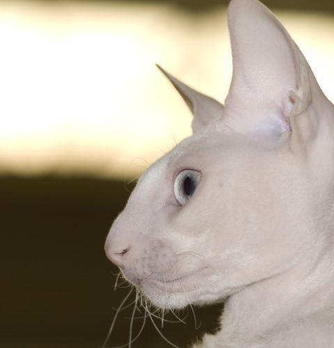Geny cech fizycznych kotów