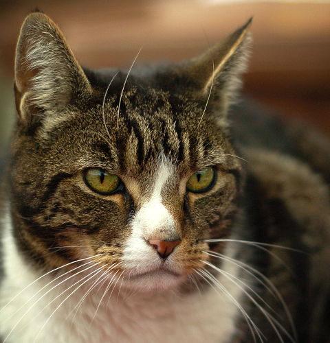 Jak przeliczyć wiek kota na wiek człowieka