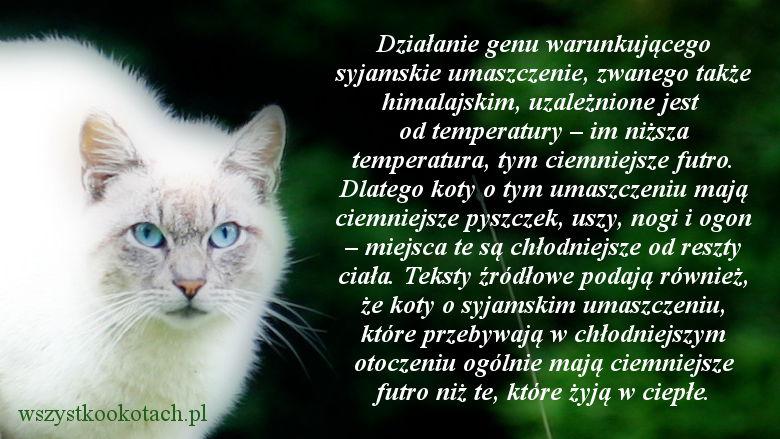 Kocie umaszczenie zależne od temperatury