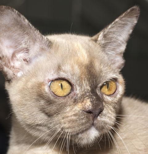 święty Kot Birmański Wszystko O Kotach