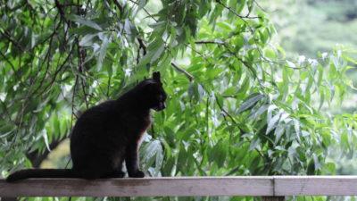 Kot domowy - Systematyka