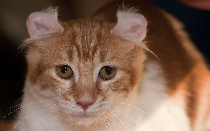 Wywinięte uszy u kota
