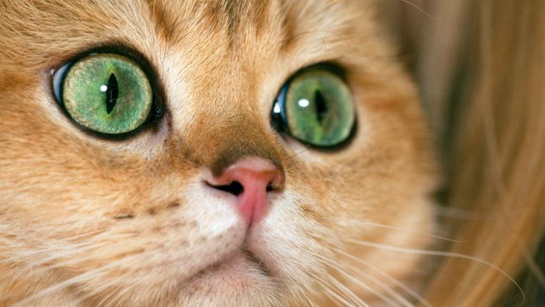 Złociste umaszczenie u kotów
