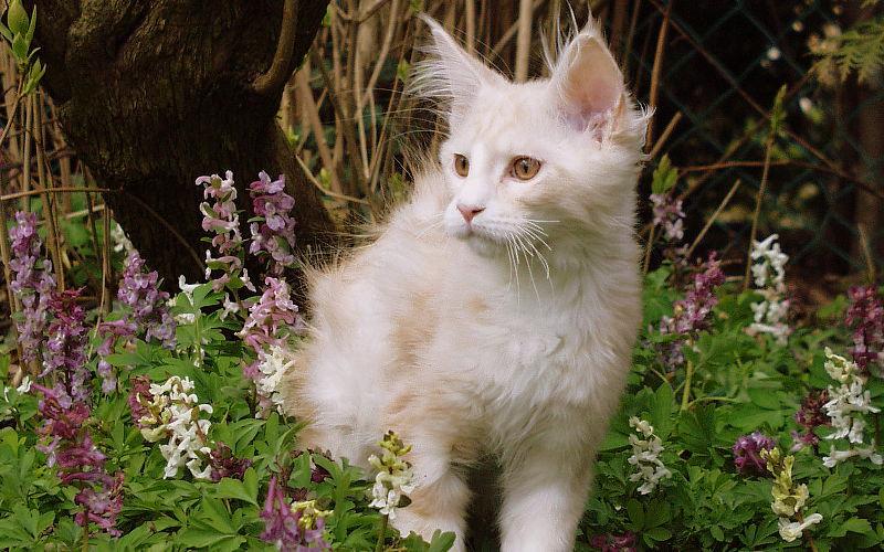 Cameo umaszczenie u kotów