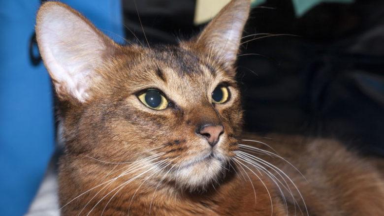 Co to jest rasa kota?