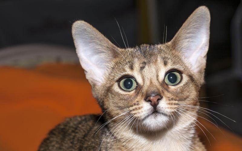 Do czego kotu potrzebne są uszy?