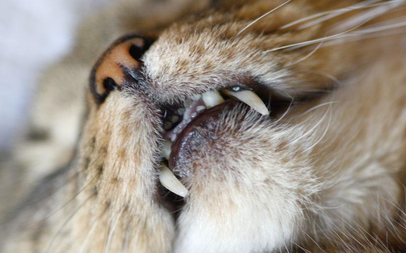 Do czego kotu potrzebne są zęby?