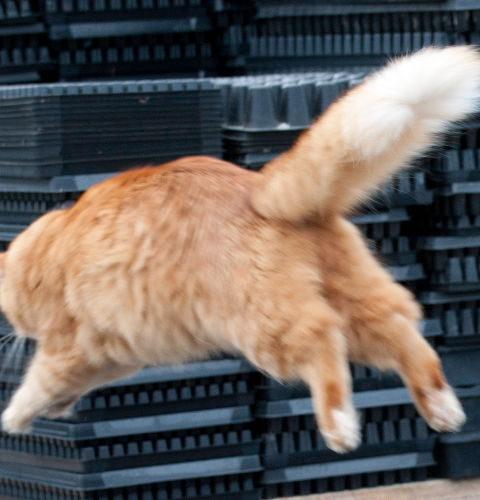 Do czego kotu potrzebny jest ogon?