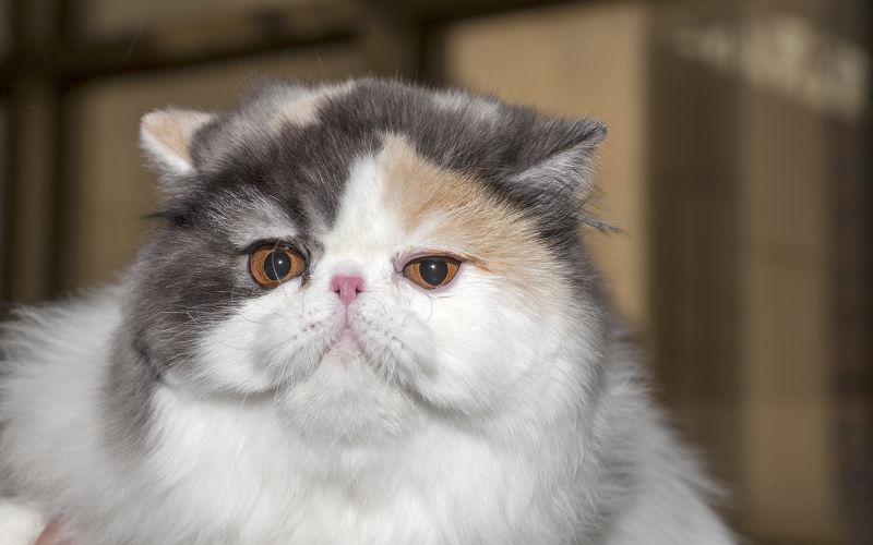 Kot egzotyczny długowłosy