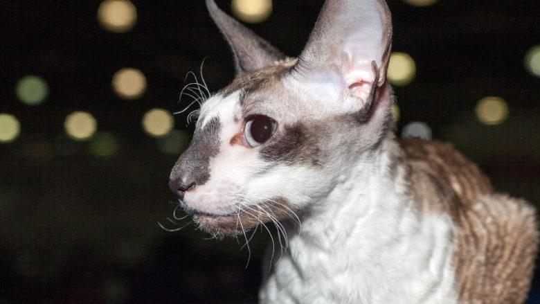 Kręcone i faliste włosy u kotów