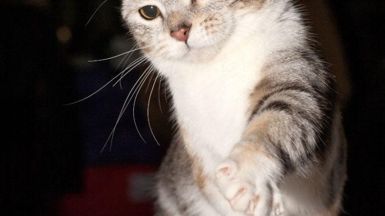 Krótkie nogi u kotów
