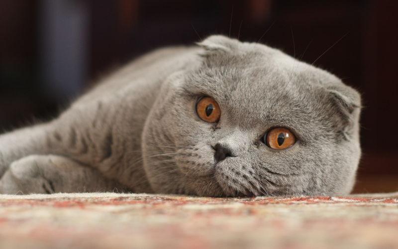 Oklapnięte uszy u kotów