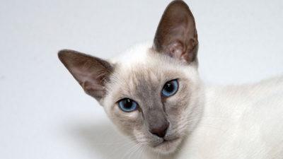 Point umaszczenie u kotów