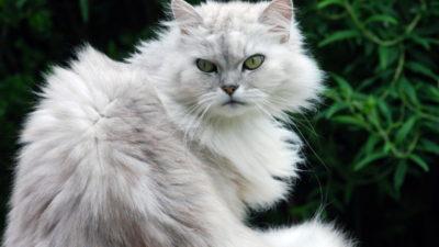 Szynszylowe umaszczenie u kotów