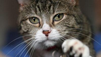 Czy kot może jeść wątróbkę?