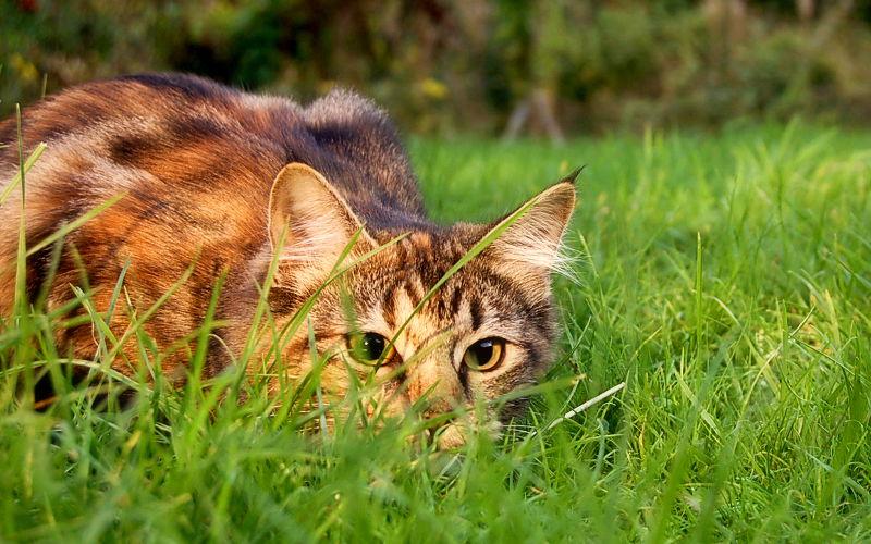 Dlaczego skradając się do ptaka, kot macha ogonem?