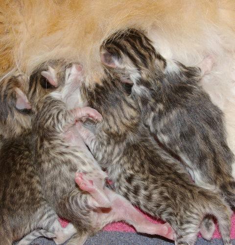 Konflikt serologiczny u kotów
