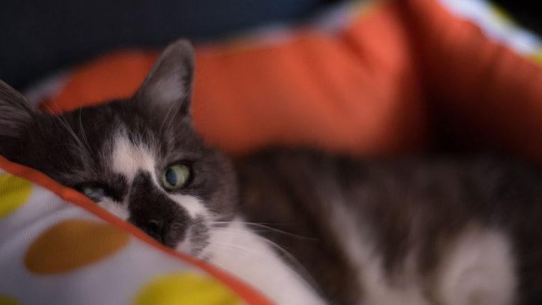 Toksoplazmoza, kot i kobieta w ciąży