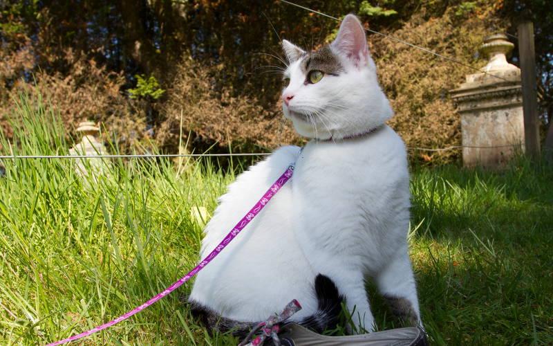 Dlaczego koty nie chodzą na smyczy?