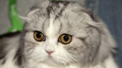 Dziedziczenie oklapniętych uszu u kotów