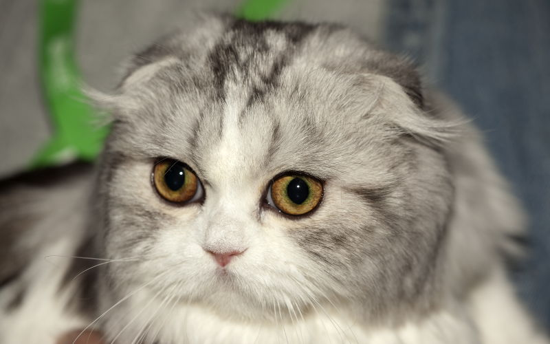 Dziedziczenie Oklapniętych Uszu U Kotów Wszystko O Kotach