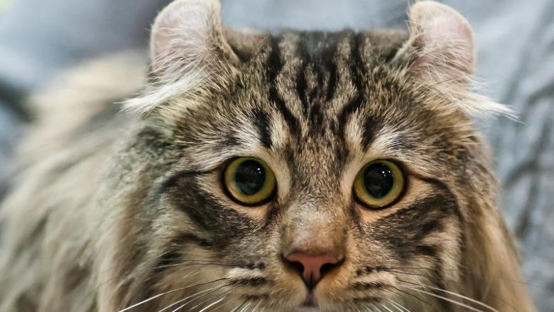 Dziedziczenie wywiniętych uszu u kotów