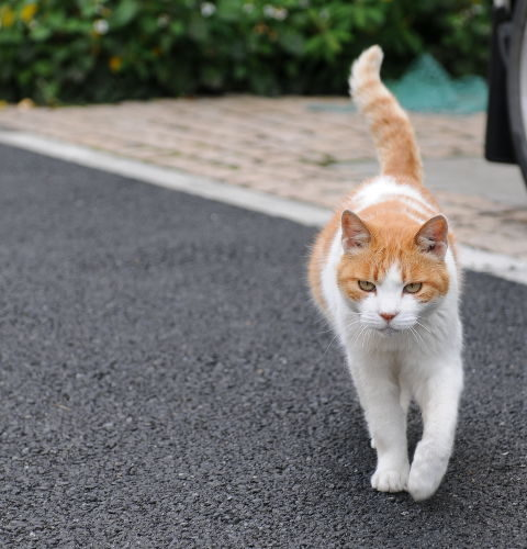 Kot dochodzący