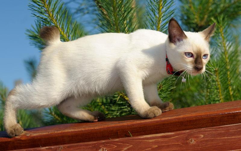 Krótki ogon u kotów