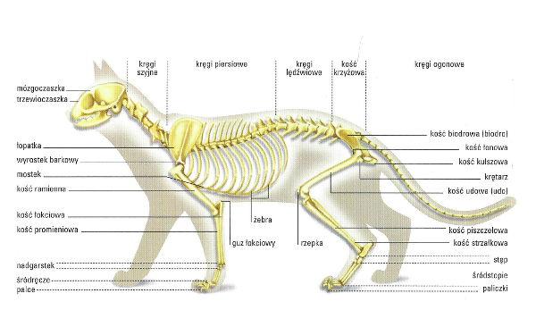 Szkielet kota