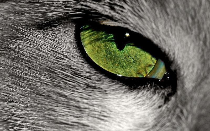 Trzy powieki u kota