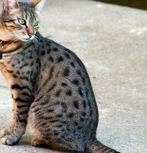Cętkowane umaszczenie u kotów