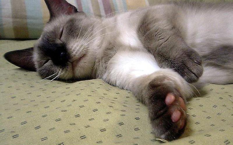 Dziedziczenie krotkich nóg u kotów