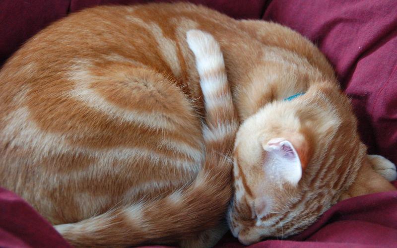 Pręgowane umaszczenie u kotów