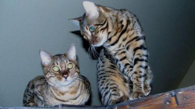 Czym są hybrydy kota domowego?