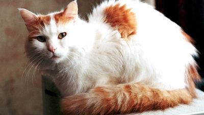 Van umaszczenie u kotów