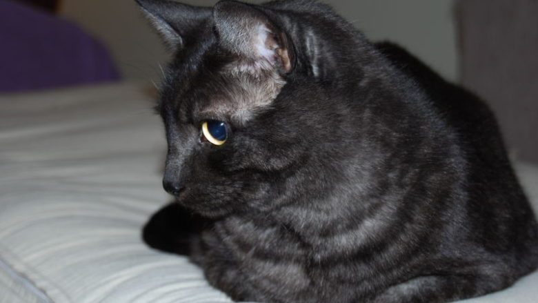 Dziedziczenie umaszczenia dymnego u kotów