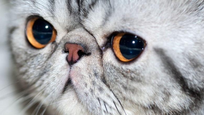 Dziedziczenie umaszczenia srebrzystego u kotów