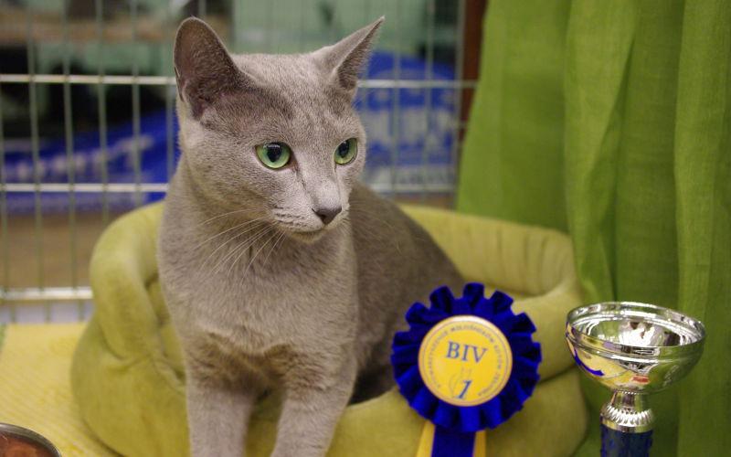 Klasy wystawowe na wystawach kotów