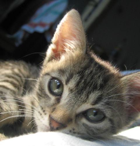 Kukurydziane żwirki dla kotów