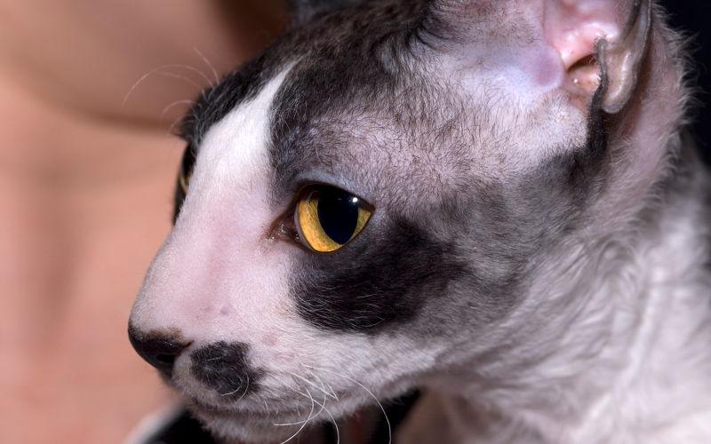 Podział kotów rasowych na grupy