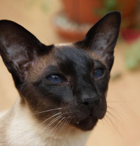 Seal umaszczenie u kotów