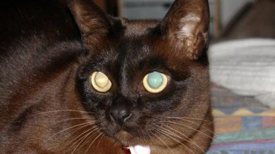 Sobolowe umaszczenie u kotów