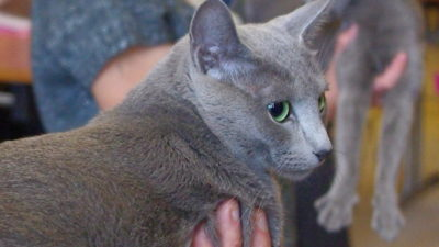 Tytuły wystawowe kotów rasowych w FIFe
